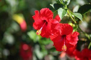 hibiscus kan basıncını
