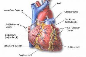 kalbin anatomisi