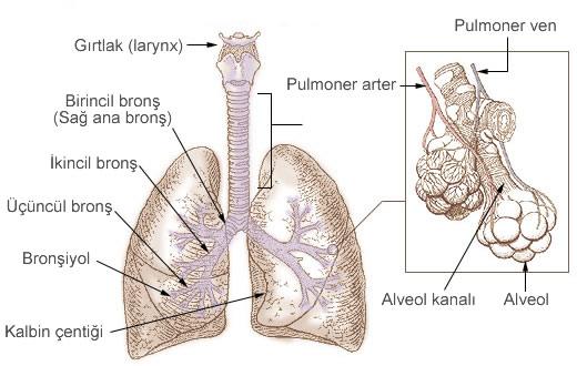 solumun sistemi anatomisi